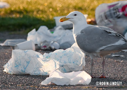 seagull-with-trash-lindsey-3